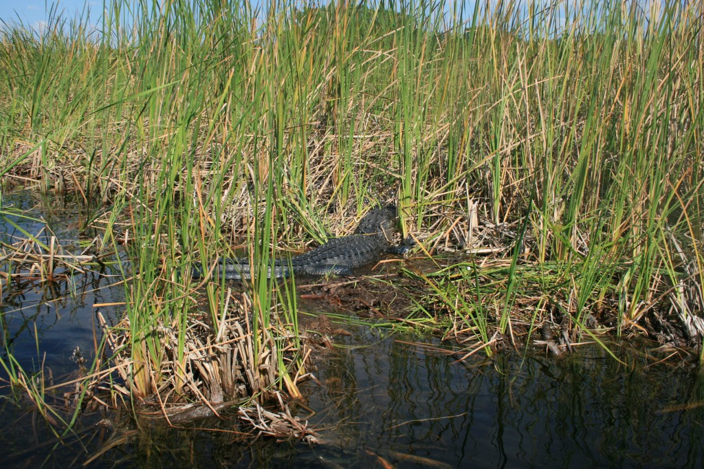 Alligator lying in the reeds