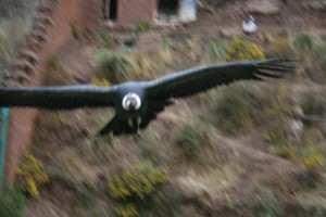 Condor flying overhead