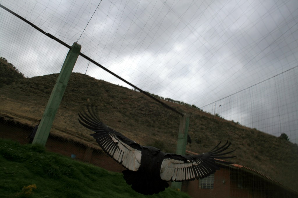 Second condor