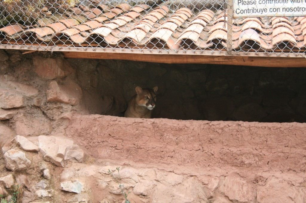 hungry mountain lion