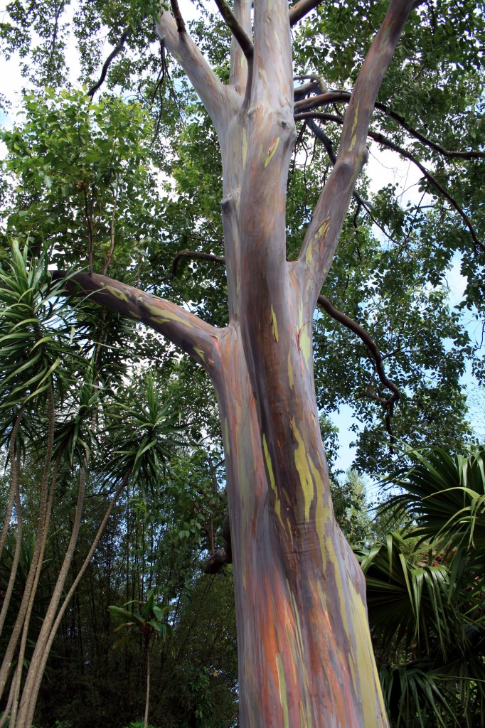 Paintbrush Eucalyptus tree we passed on the way.  The bark peels away , revealing many colors underneath.
