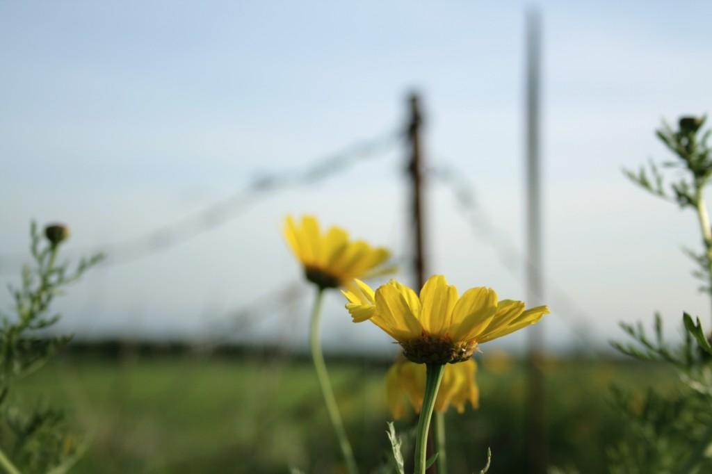 yellow-flowers-1