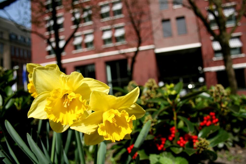 hague_daffodils