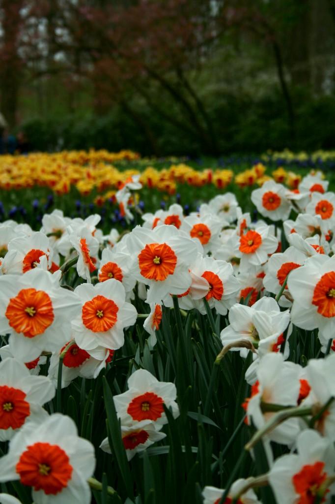 keukenhof-daffodils-2w