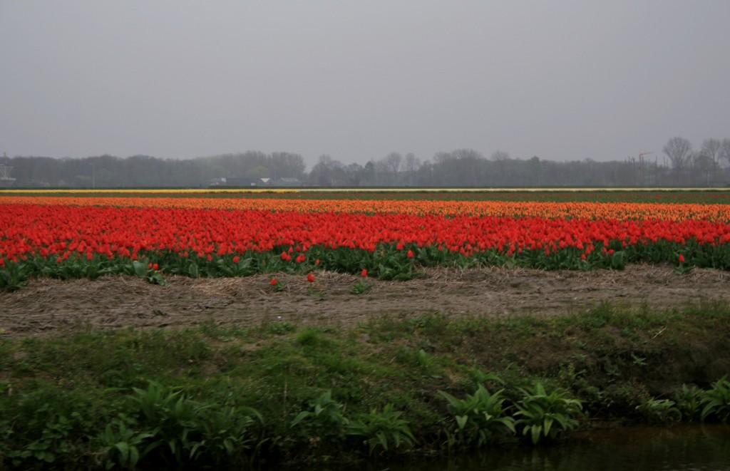 keukenhof-tulip-fields-10w