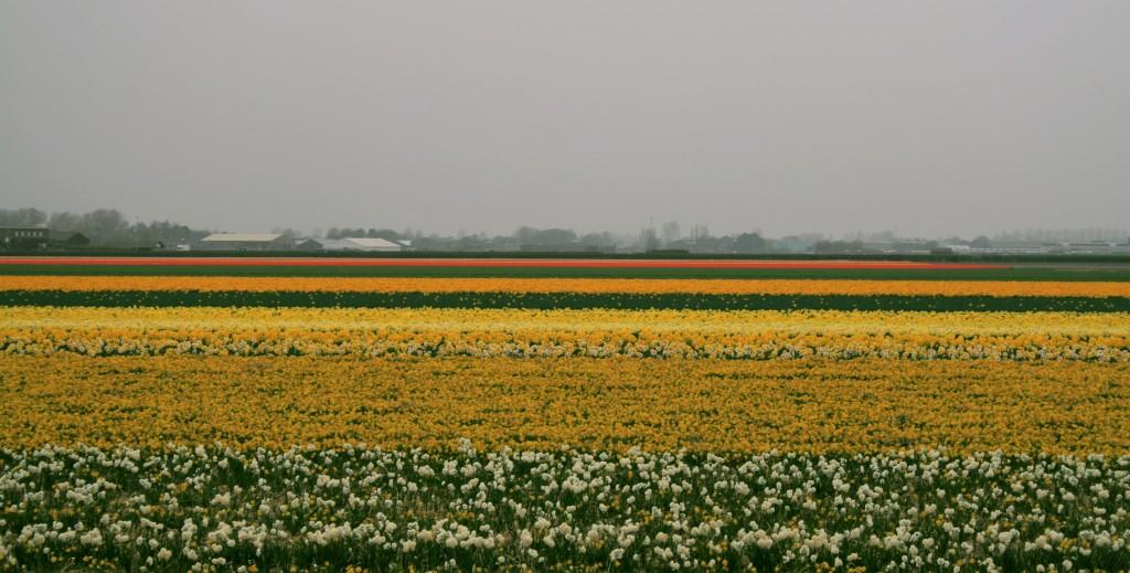 keukenhof-tulip-fields-5w