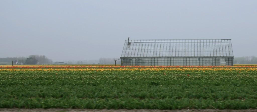 keukenhof-tulip-fields-7w