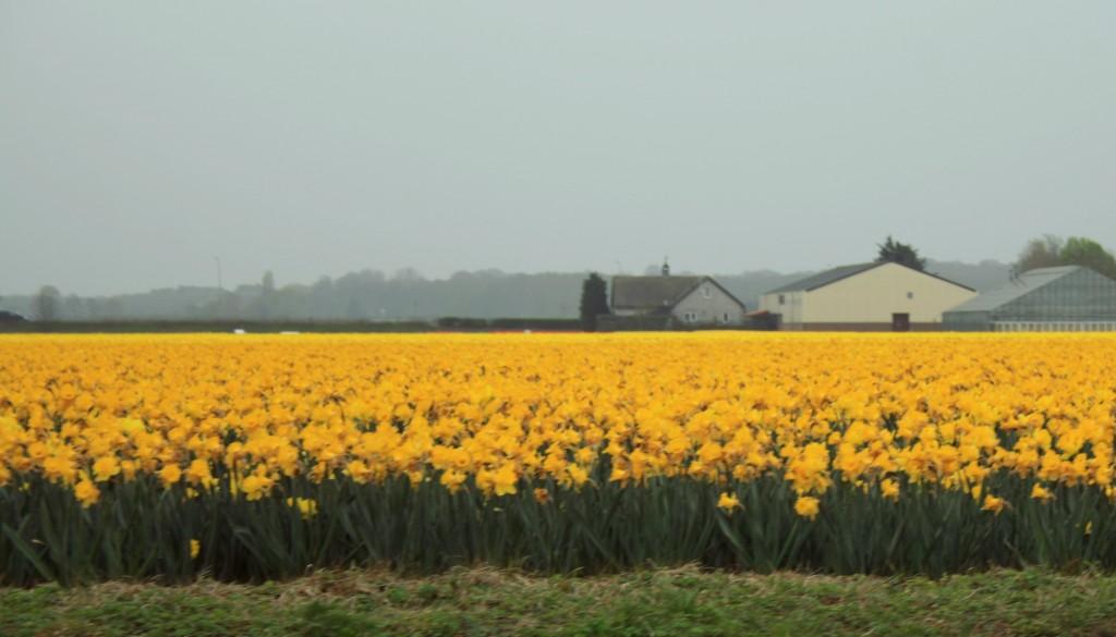 keukenhof-tulip-fields-8w