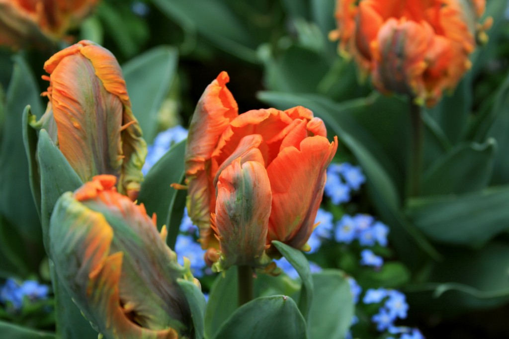 keukenhof-tulips-2w