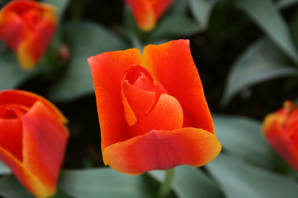 keukenhof-tulips-3w
