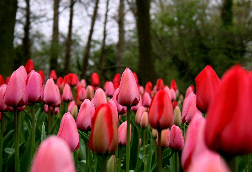 keukenhof-tulips-4w