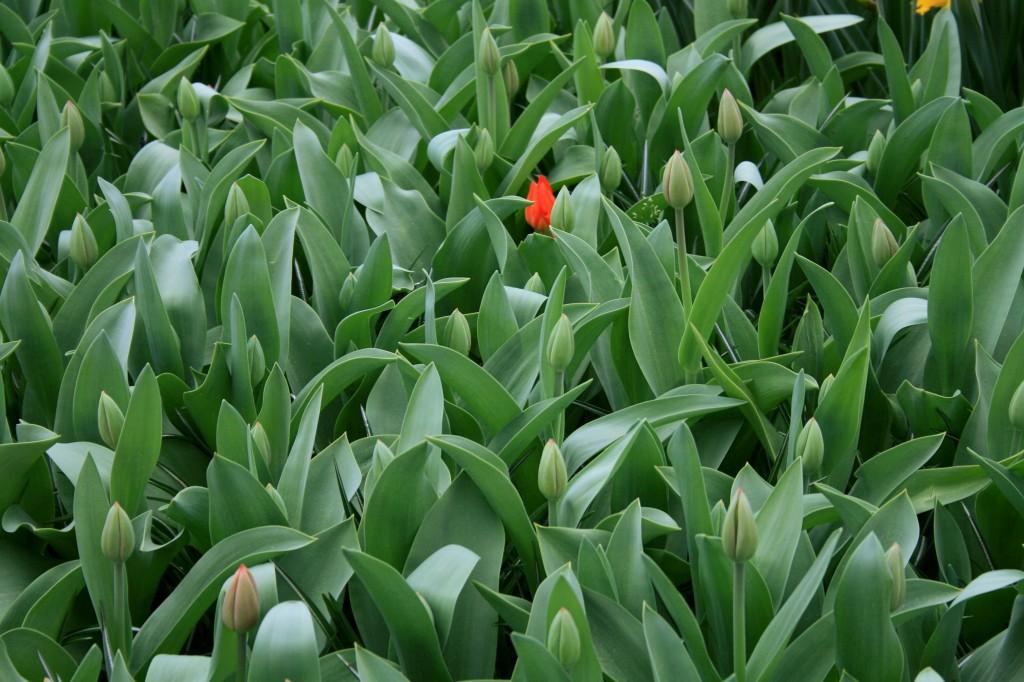 keukenhof-tulips-5w