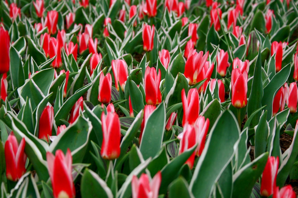 keukenhof-tulips-7w