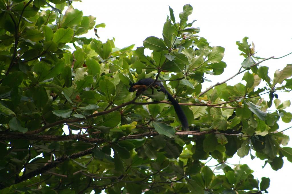 langkawi-giant-squirrel-2