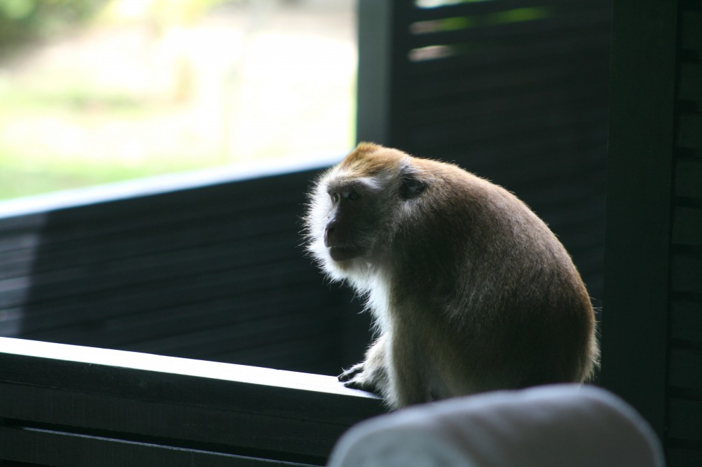 langkawi-monkey-patio-2
