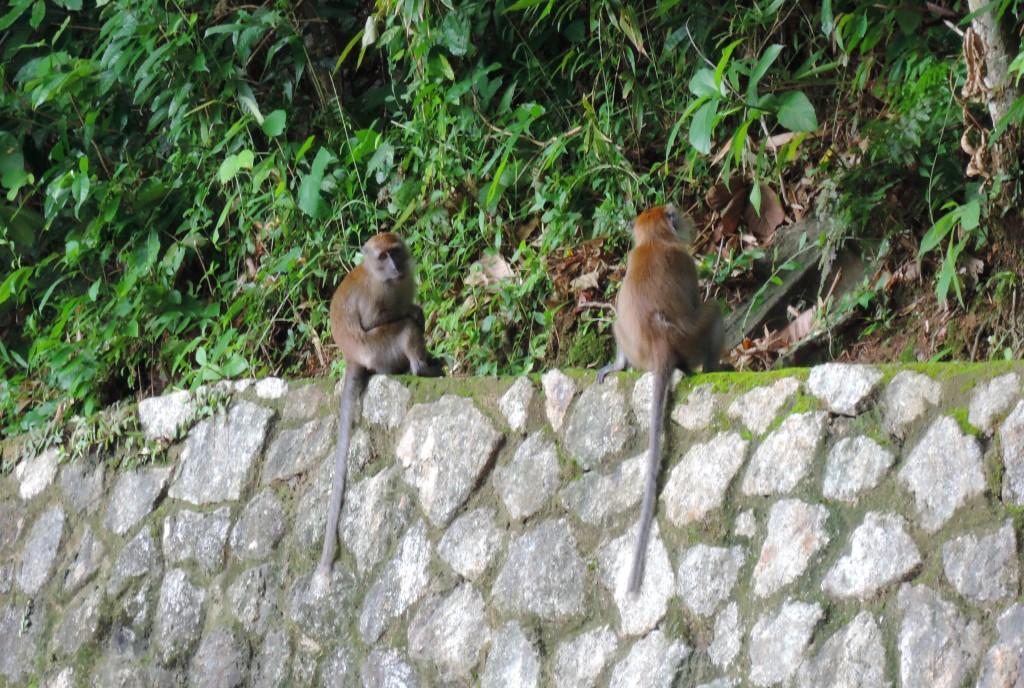 langkawi-monkeys-2-large
