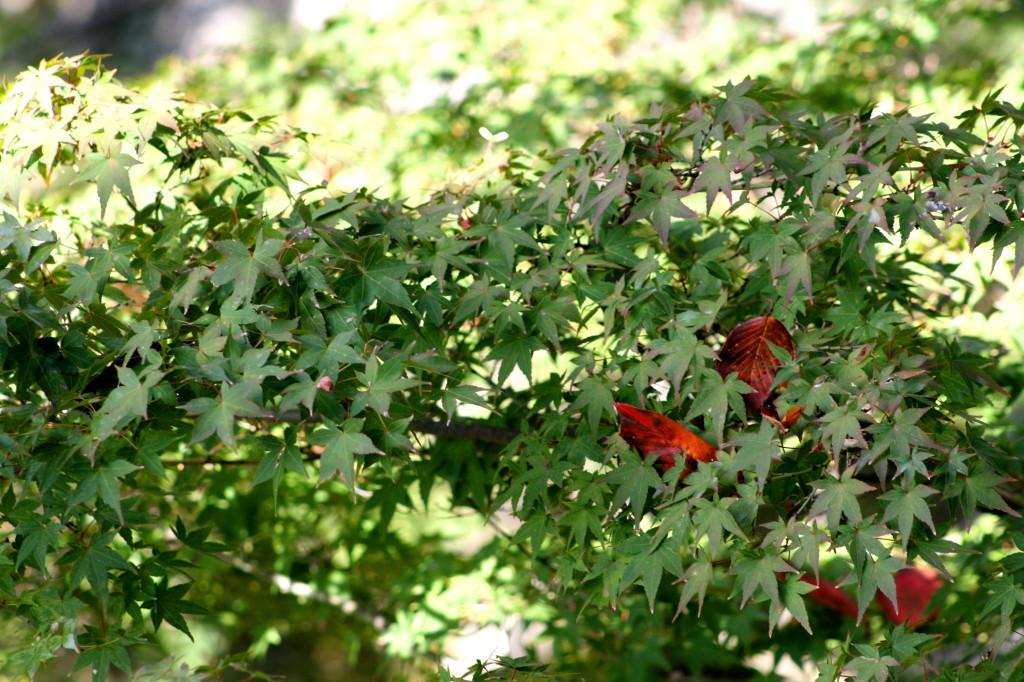 kiyomizu-dera-temple-leaves